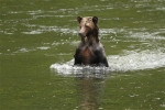 Bear-walking-on-water