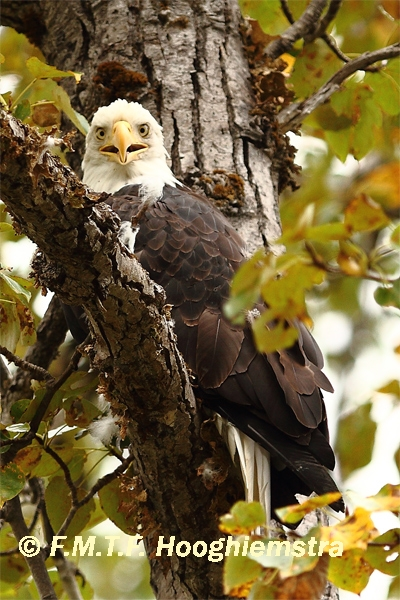 Bald-Eagle-neurotic