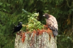 Raven-and-Juvenile