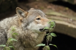 Wolf-with-nettle