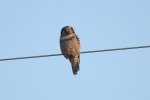 Sperweruil / Northern Hawk Owl