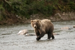 Bear walking by the river