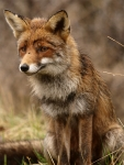 Female-fox-3