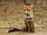 Female-fox-5