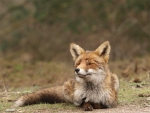 Female-fox-7