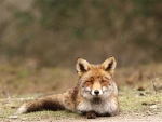 Female fox-2
