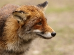 Female-fox-6